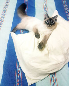 Ragdoll male looking for mate!