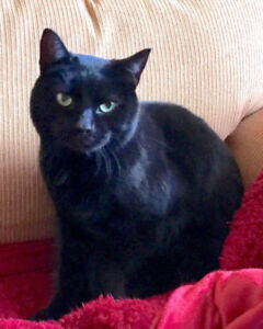 Black Cat Found, Mississauga 9th Line and Tacc Dr. Area