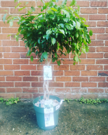 Fig Adora indoor Tree
