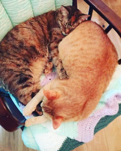 Inseparable kitties looking for a forever home