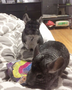 Two Chinchillas- must go together Peterborough Peterborough Area image 2