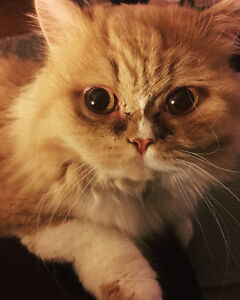 Persian cat for lovely familly
