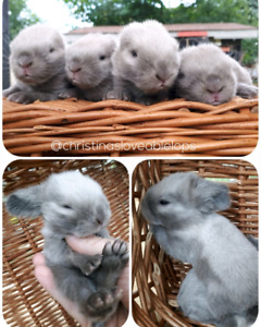 Lots of Beautiful Purebred Holland Lop Babies❤!