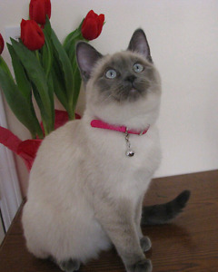 Looking for a Siamese, Ragdoll or Himalayan Kitten? Be Aware