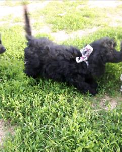 Belle poodle miniature a vendre