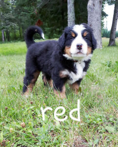 Home Raised Bernese Mountain Dog Puppies