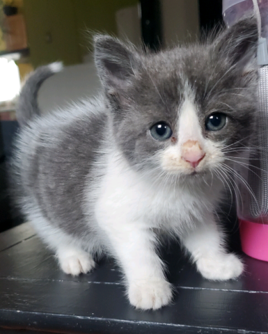 Chatton A Donner Reserve Chats Et Chatons A Adopter Granby Kijiji