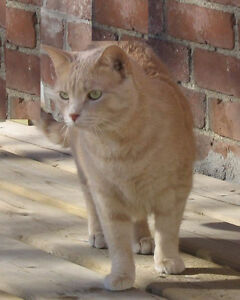 beautiful sweet cat in need of home Belleville Belleville Area image 1