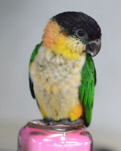 Super friendly hand fed baby Caiques only 3 left