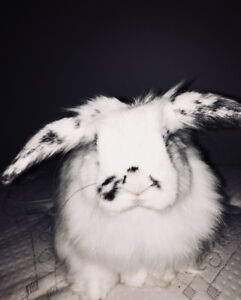 Holland lop bunny with large cage