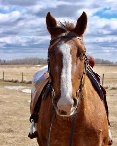 Appaloosa | Horses, Ponies for Sale or Adoption in Alberta