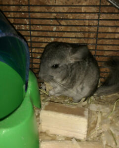 Baby Chinchillas and 3 adult Chinchillas