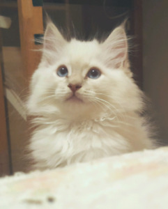 Lilac lynx Male Ragdoll Neutered kitten TICA Breeder
