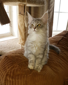 Purebred Registered Maine Coon kittens
