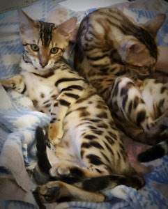 ❤A1-CHATONS BENGAL❤EXOTIC PURE BENGAL KITTENS