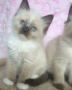 TICA registered female ragdoll kitten