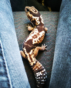 Male Fat-Tailed gecko