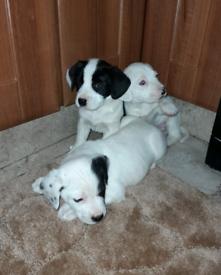 Springer x labrador puppy's