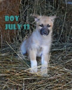 Shepherd x border collie x pups vaccinated and ready to go