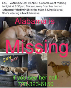 Lost dog - small yellow curly tail goes by Alabama