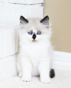 FRIENDLY RAGDOLL KITTENS FOR REHOMING
