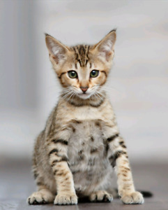 Savannah kittens bengal lovers
