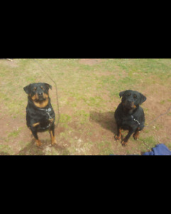 Pure bred Rottweilers