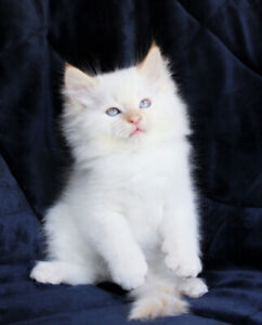Flame Point Ragdoll Male Kittens are Ready for Rehoming