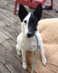 Smooth Fox Terrier Looking for a New Home