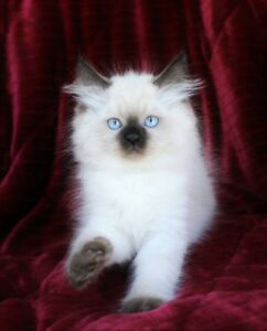 Super Fluffy Ragdoll kittens for adoption