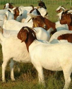 Live meat goats