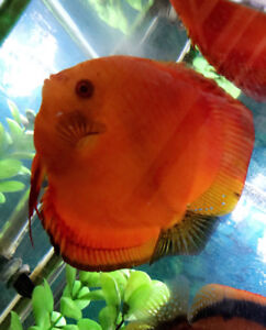 2 Beautiful, very healthy & LARGE size Discus fish