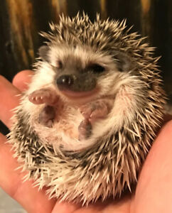 Sweetest baby Pygmy Hedgehogs! Adorable little pets!