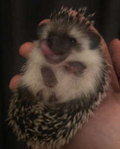 Sweetest and socialized baby Pygmy Hedgehogs. Ready to go now!