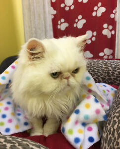 Persian senior looking for a loving home