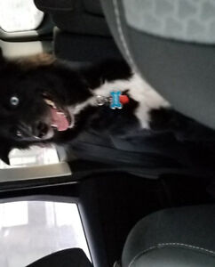$1500 REWARD Lost dog Border Collie Mix