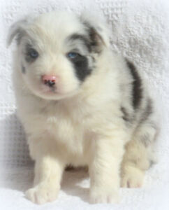 Registered Aussie Puppies