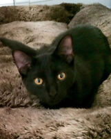 Lost Cat- Short Black Hair, Bright Yellow Eyes