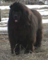 WANTED: M/BLK Newfoundland Retriever