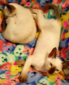 ❤MAGNIFIQUES CHATONS SIAMOIS PUR RACE ❤PURE SIAMESE KITTENS ❤