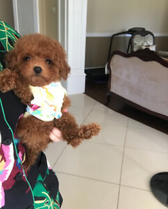 NEW❤cute red tiny toy poodle boy ready to go new home~~~~