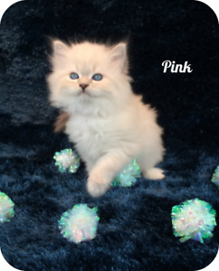 Hypoallergenic Siberian Cats and Kittens