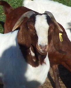 Goat bucks. Purebred Boer Buck  - carries spotted gene