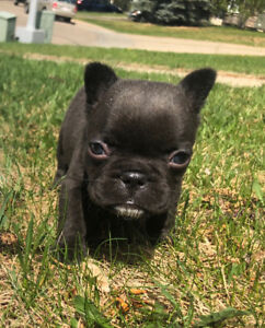 CKC registered french bulldog