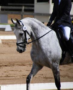 Beautiful Arabian/Friesian Gelding!