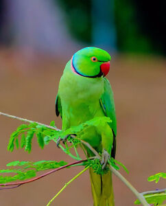 Green Indian Parrot Needed