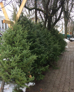 Christmas trees $25 each - Proceeds for college fund