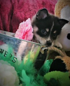 Pomsky puppies, ready march 1st