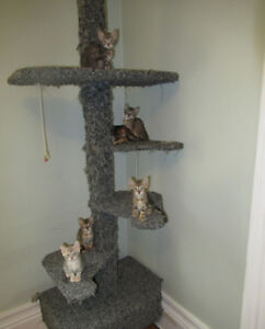 *** BENGAL Cat Kitten Cubs $600.00 GORGEOUS PUREBRED BENGAL CUBS
