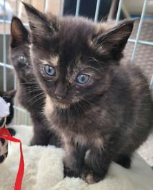 Beautiful British shorthair x kittens ready now
